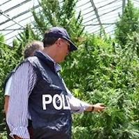 Maxi sequestro di una piantagione di marijuana