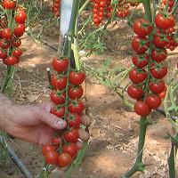 Imposte le varietà di ciliegino