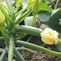 Non c'è mercato. Tonnellate di zucchine al macero.