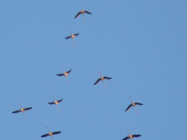 Aironi rosa a Costa dell'ambra
