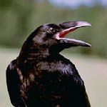 A Pachino in politica regnano i corvi