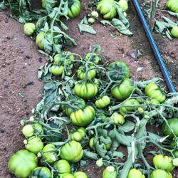 L'annata agraria è compromessa. Intere coltivazioni sono state rase al suolo
